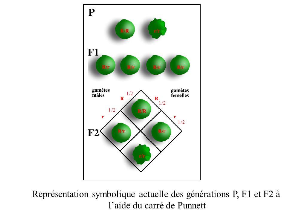 Représentation symbolique actuelle des générations P, F1 et F2 à laide du carré de Punnett 1/2