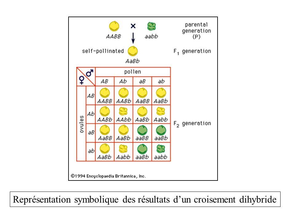 Représentation symbolique des résultats dun croisement dihybride
