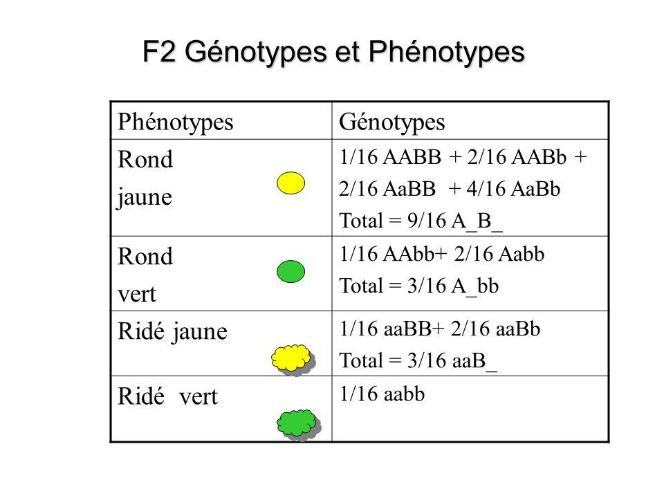 F2 Génotypes et Phénotypes PhénotypesGénotypes Rond jaune 1/16 AABB + 2/16 AABb + 2/16 AaBB + 4/16 AaBb Total = 9/16 A_B_ Rond vert 1/16 AAbb+ 2/16 Aa