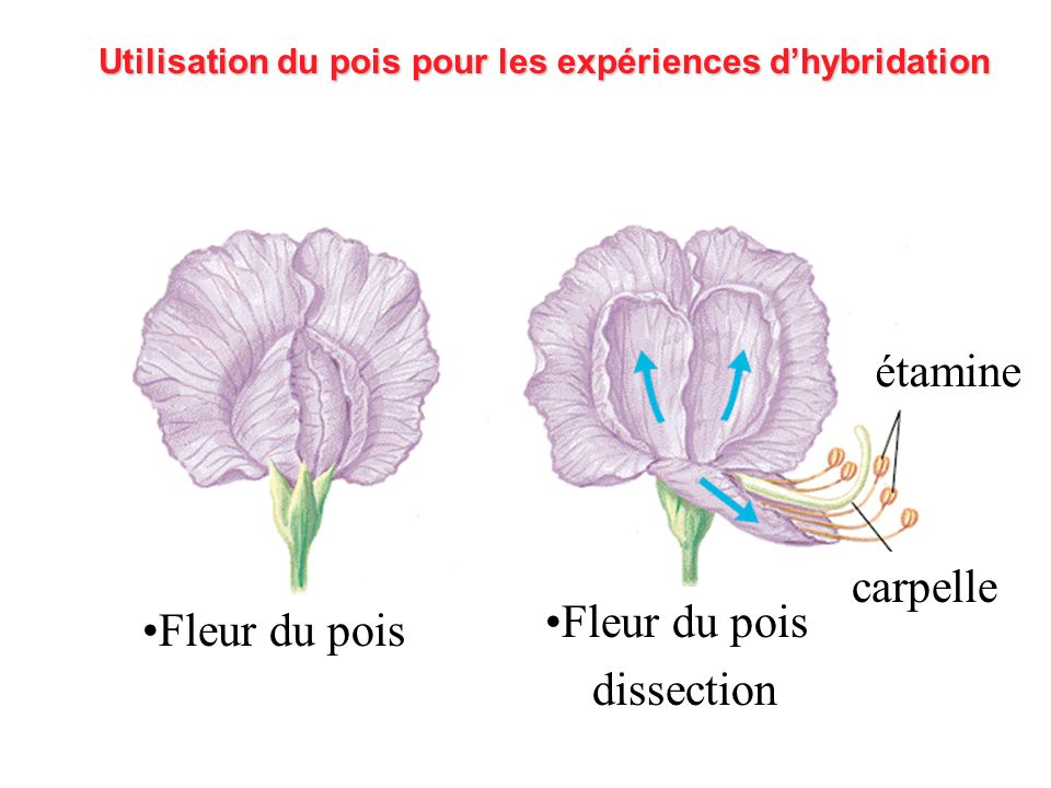 Utilisation du pois pour les expériences dhybridation Fleur du pois dissection étamine carpelle