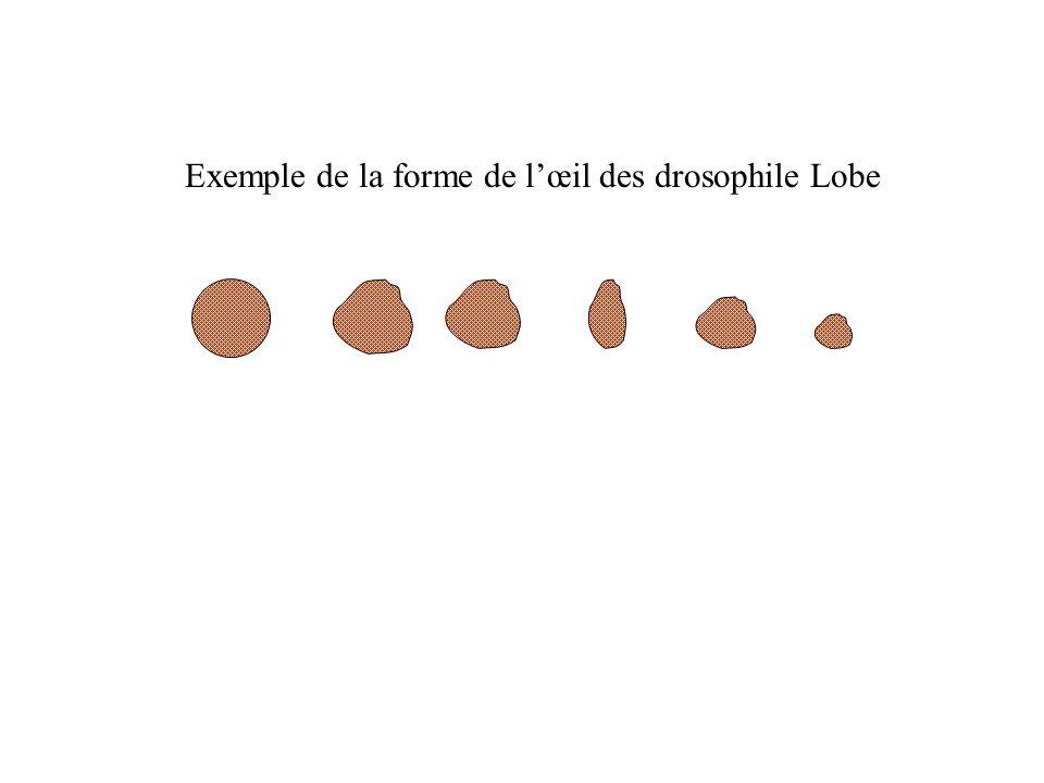 Exemple de la forme de lœil des drosophile Lobe