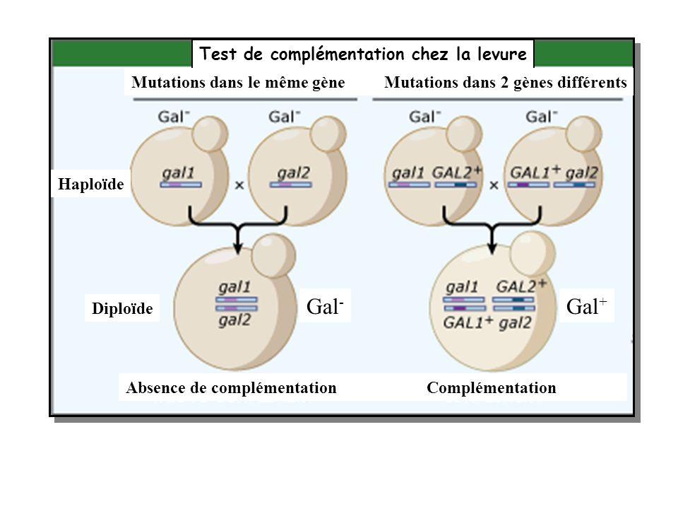 Test de complémentation chez la levure Mutations dans le même gèneMutations dans 2 gènes différents Haploïde Diploïde Gal - Gal + ComplémentationAbsen