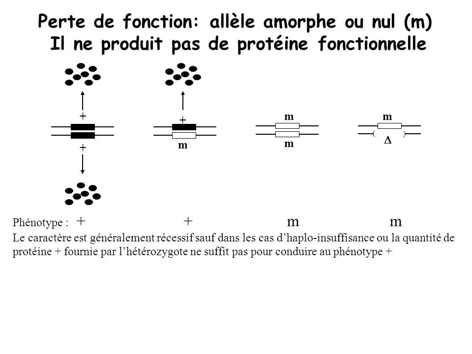 + + + m m m Perte de fonction: allèle amorphe ou nul (m) Il ne produit pas de protéine fonctionnelle Phénotype : + + m m Le caractère est généralement