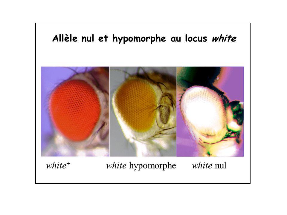 Allèle nul et hypomorphe au locus white white + white hypomorphe white nul