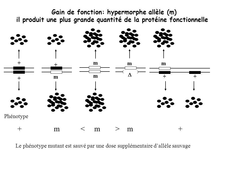 + + + m m m Gain de fonction: hypermorphe allèle (m) il produit une plus grande quantité de la protéine fonctionnelle + m m + Le phénotype mutant est