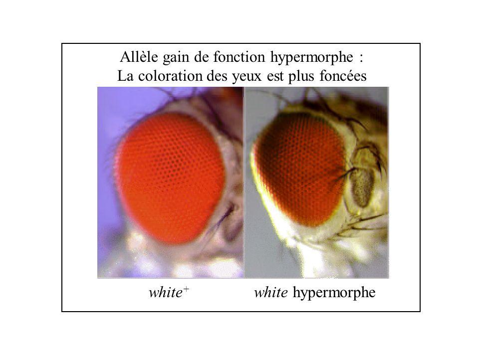 white + white hypermorphe Allèle gain de fonction hypermorphe : La coloration des yeux est plus foncées