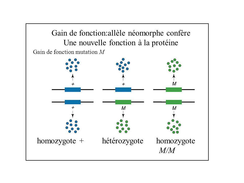 Gain de fonction:allèle néomorphe confère Une nouvelle fonction à la protéine Gain de fonction mutation M homozygote + hétérozygote homozygote M/M