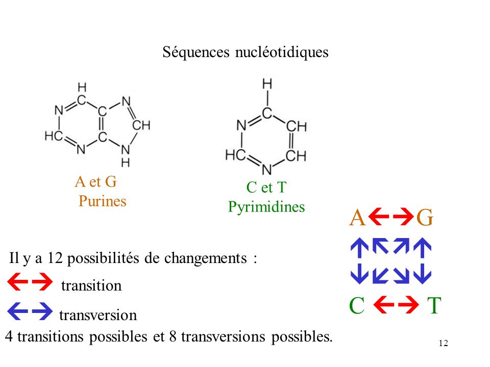 12 Séquences nucléotidiques Il y a 12 possibilités de changements : transition transversion 4 transitions possibles et 8 transversions possibles. A G
