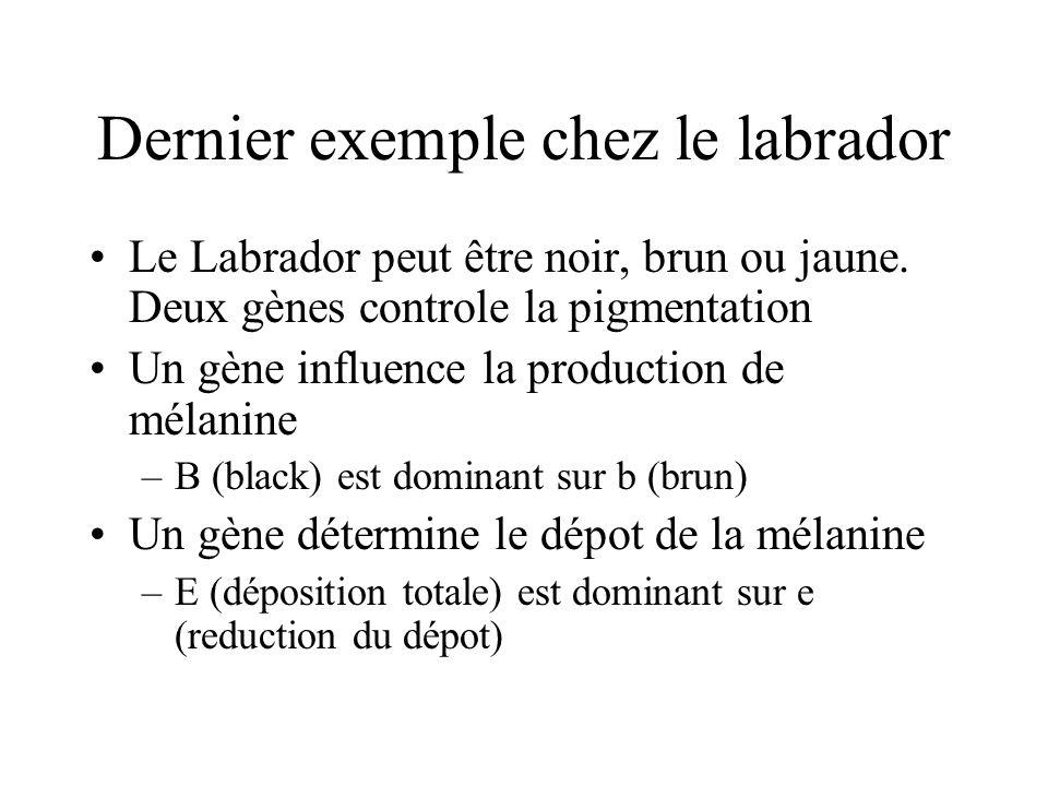 Dernier exemple chez le labrador Le Labrador peut être noir, brun ou jaune. Deux gènes controle la pigmentation Un gène influence la production de mél