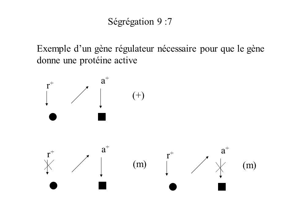 Ségrégation 9 :7 Exemple dun gène régulateur nécessaire pour que le gène donne une protéine active r+r+ a+a+ (+) r+r+ a+a+ (m) r+r+ a+a+