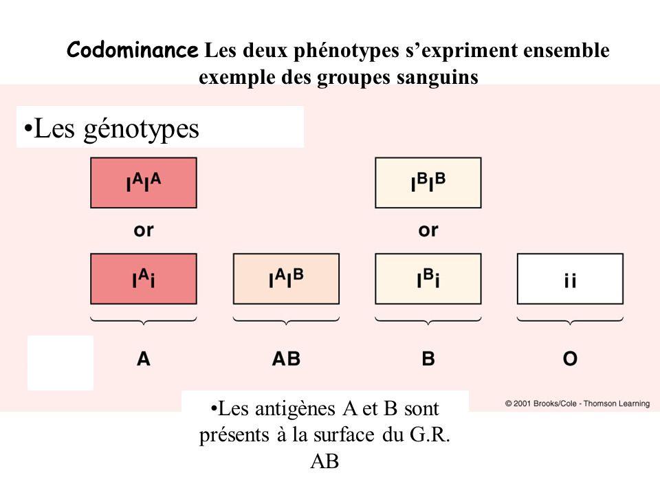 Dominance incomplète chez lhomme le cas de lhypercholestérolémie Hétérozygotes H/h Homozygotes H/H Homozygotes h/h Ne fait pas de récepteur NormalLégèrement maladesévèrement malade