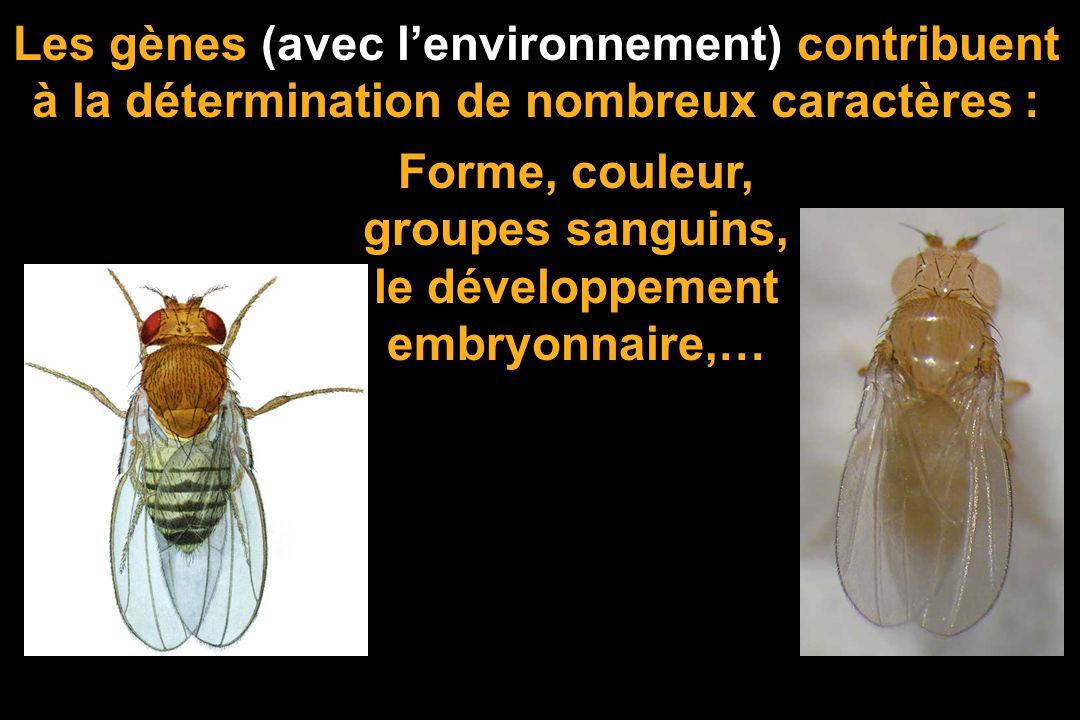 MUTATION = MODIF DE LINFORMATION oeil blanccorps jaune Dans les populations, les individus sont génétiquement différents : la variation génétique. (Gr