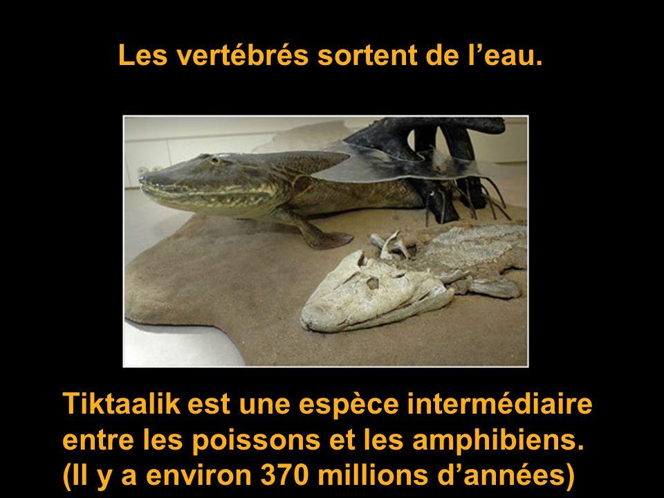 LArcheopteryx est une espèce qui fait le lien entre les reptiles et les oiseaux (150 Millions)