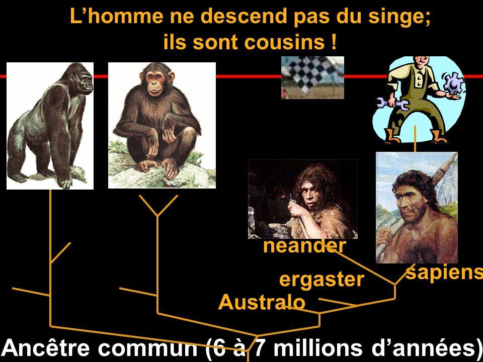 Ancêtre commun (6 à 7 millions dannées) Larbre généalogique de lhomme neander Australo ergaster sapiens