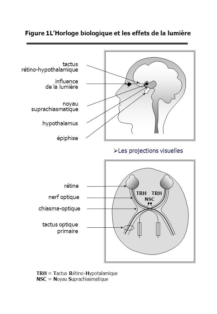 Figure 1LHorloge biologique et les effets de la lumière Les projections visuelles rétine nerf optique chiasma-optique tactus optique primaire TRH NSC