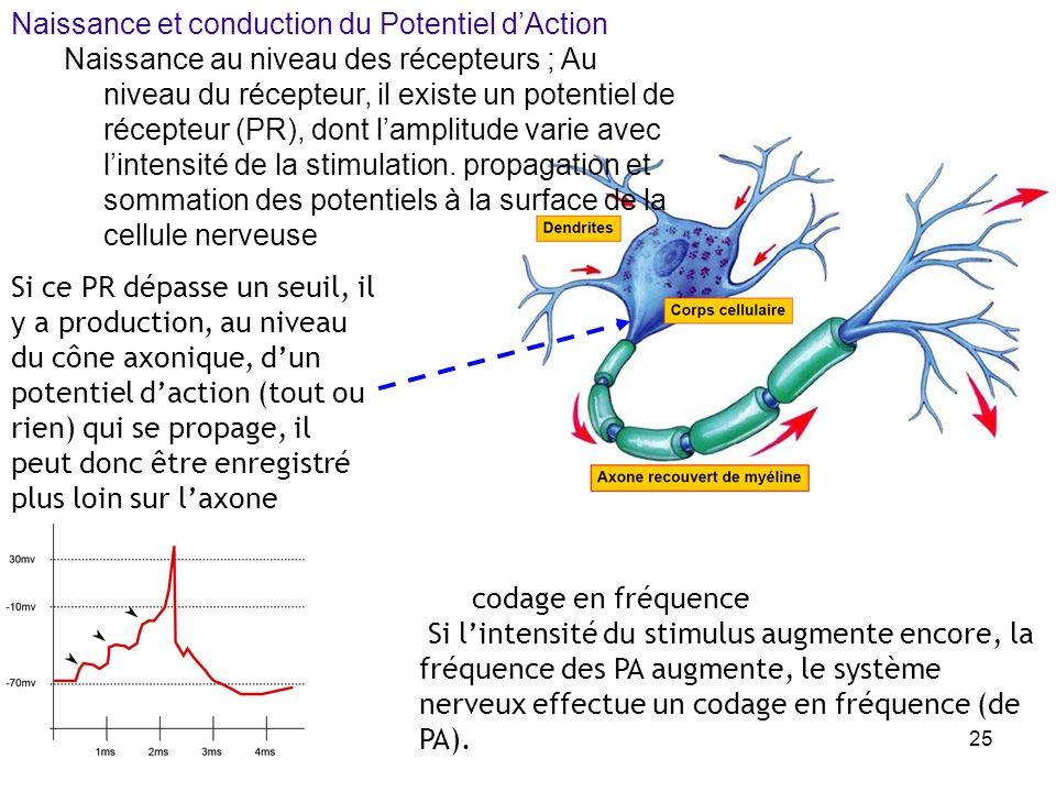 24 axone du neurone amont : libération de neurotransmetteurs (chimiques) génération dun potentiel électrique dans le neurone aval fonction de la quant