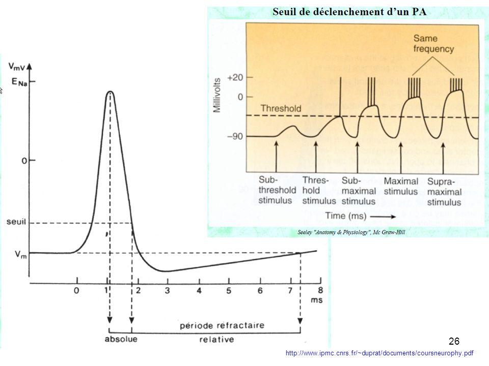 25 codage en fréquence Si lintensité du stimulus augmente encore, la fréquence des PA augmente, le système nerveux effectue un codage en fréquence (de