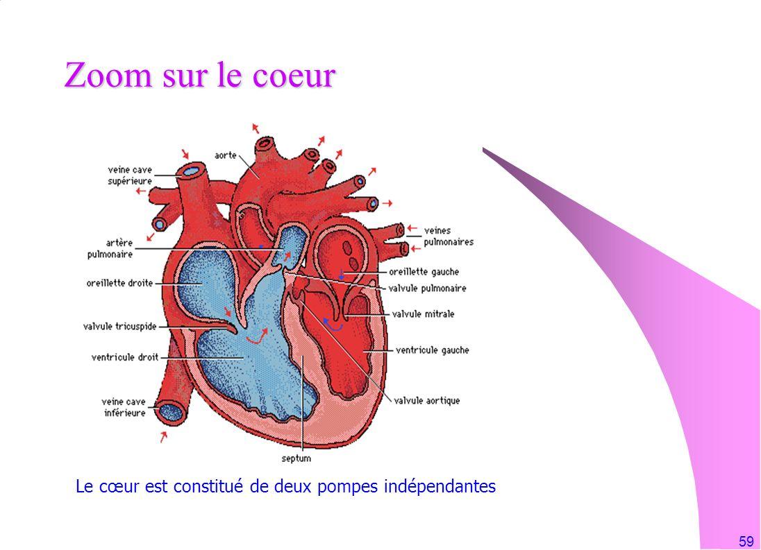 59 Zoom sur le coeur Le cœur est constitué de deux pompes indépendantes