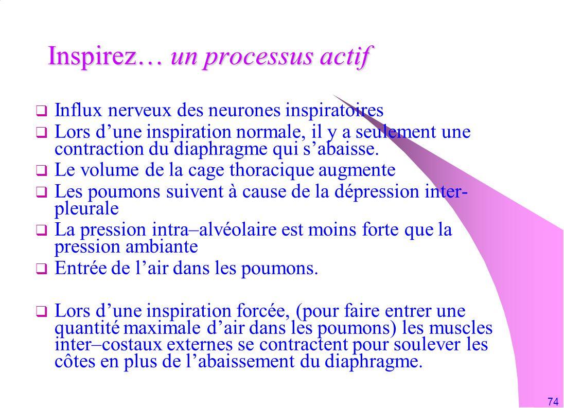74 Inspirez… un processus actif Influx nerveux des neurones inspiratoires Lors dune inspiration normale, il y a seulement une contraction du diaphragm