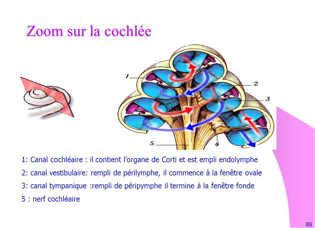 89 Zoom sur la cochlée 1: Canal cochléaire : il contient lorgane de Corti et est empli endolymphe 2: canal vestibulaire: rempli de périlymphe, il comm