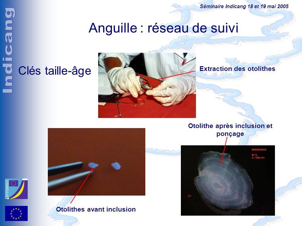Séminaire Indicang 18 et 19 mai 2005 Extraction des otolithes Otolithe après inclusion et ponçage Otolithes avant inclusion Clés taille-âge Anguille :