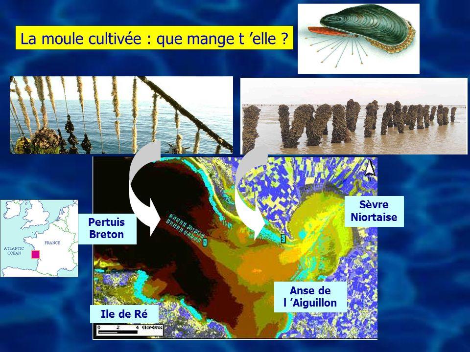 Sèvre Niortaise Ile de Ré Anse de l Aiguillon Pertuis Breton La moule cultivée : que mange t elle ?