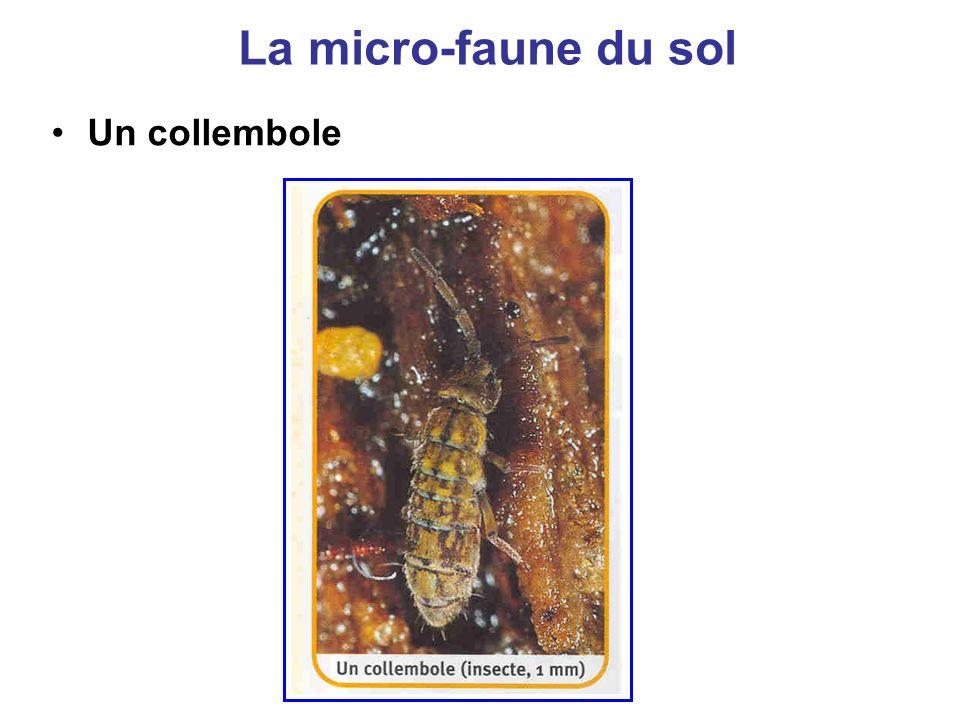 La micro-faune du sol Un collembole