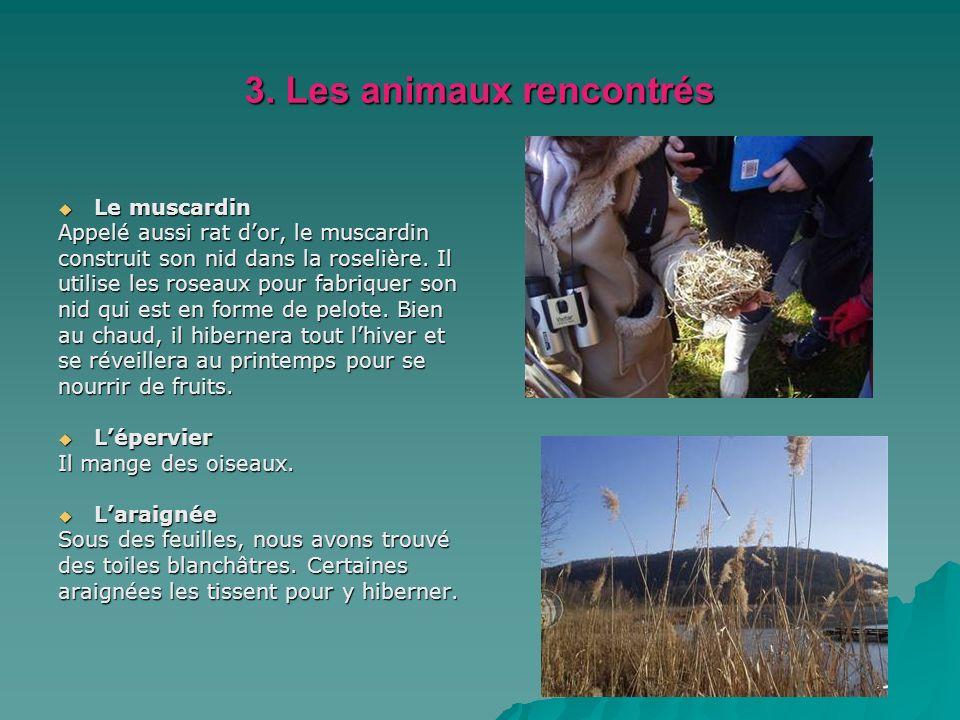 3. Les animaux rencontrés Le muscardin Le muscardin Appelé aussi rat dor, le muscardin construit son nid dans la roselière. Il utilise les roseaux pou