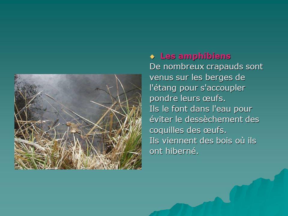 Les amphibiens Les amphibiens De nombreux crapauds sont venus sur les berges de l'étang pour s'accoupler pondre leurs œufs. Ils le font dans l'eau pou