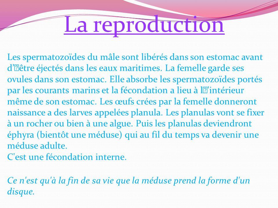 La reproduction Les spermatozoïdes du mâle sont libérés dans son estomac avant d'être éjectés dans les eaux maritimes.