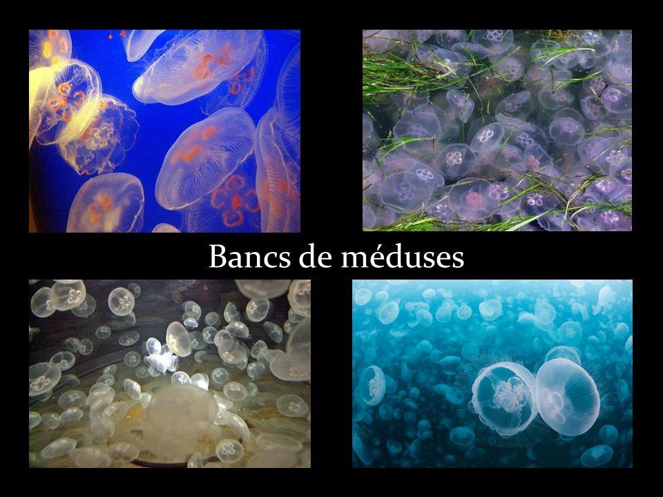 Quelques sortes de méduses La méduse œuf au plat La méduse en forme de pénis Cette méduse peu urticante, se rencontre surtout à la fin de l été ou pendant l automne.