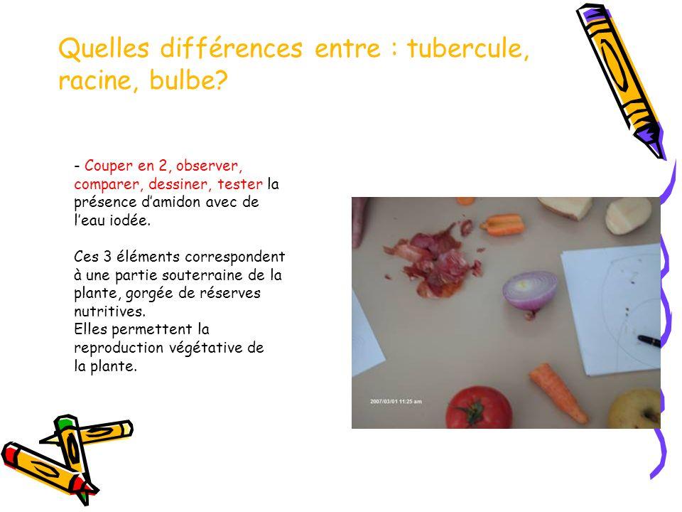 Quelles différences entre : tubercule, racine, bulbe.