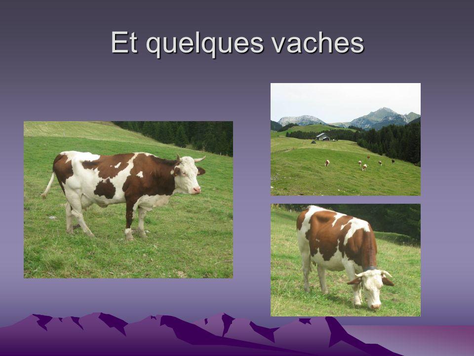 Et quelques vaches