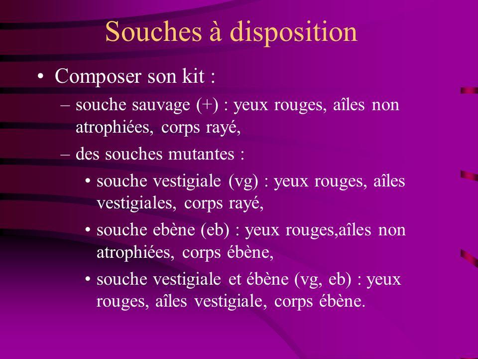 Souches à disposition Composer son kit : –souche sauvage (+) : yeux rouges, aîles non atrophiées, corps rayé, –des souches mutantes : souche vestigial