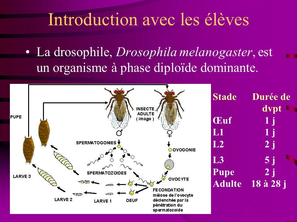 Introduction avec les élèves La drosophile, Drosophila melanogaster, est un organisme à phase diploïde dominante. Stade Durée de dvpt Œuf 1 j L1 1 j L