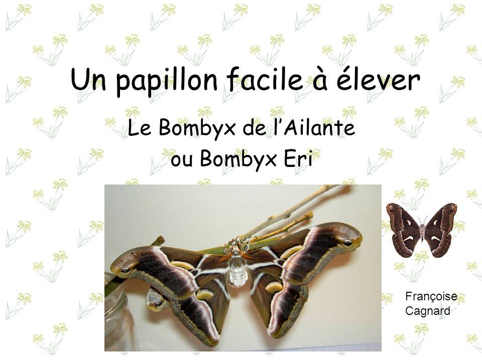 Un papillon facile à élever Le Bombyx de lAilante ou Bombyx Eri Françoise Cagnard