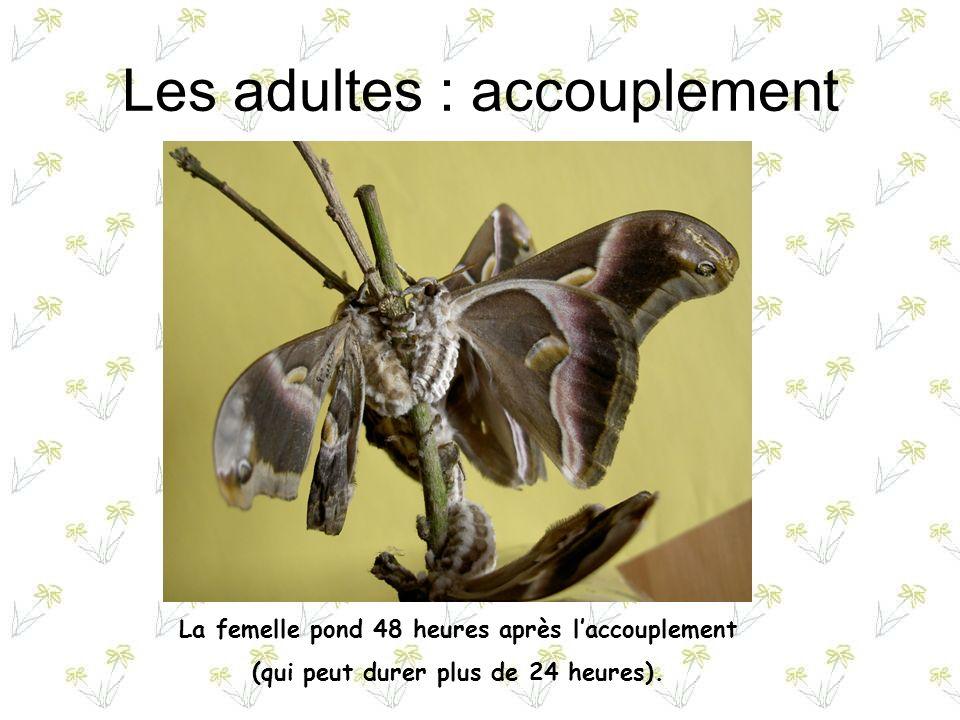 Le jeune papillon Ladulte ne se nourrit pas.Après laccouplement et la ponte, il meurt.