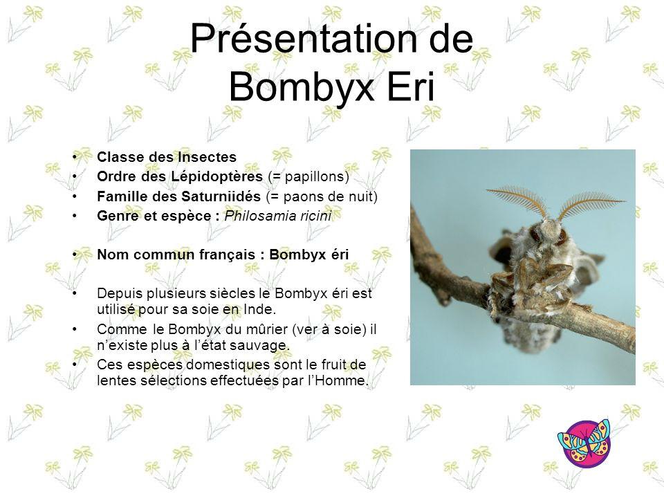 Présentation de Bombyx Eri Classe des Insectes Ordre des Lépidoptères (= papillons) Famille des Saturniidés (= paons de nuit) Genre et espèce : Philosamia ricini Nom commun français : Bombyx éri Depuis plusieurs siècles le Bombyx éri est utilisé pour sa soie en Inde.