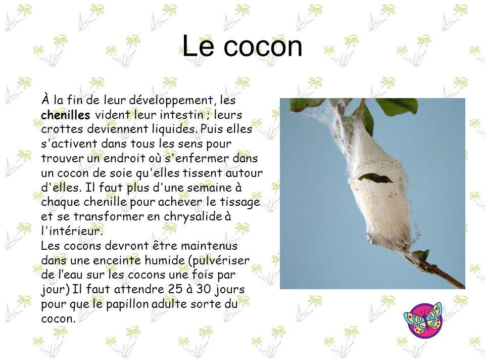 Le cocon À la fin de leur développement, les chenilles vident leur intestin ; leurs crottes deviennent liquides.