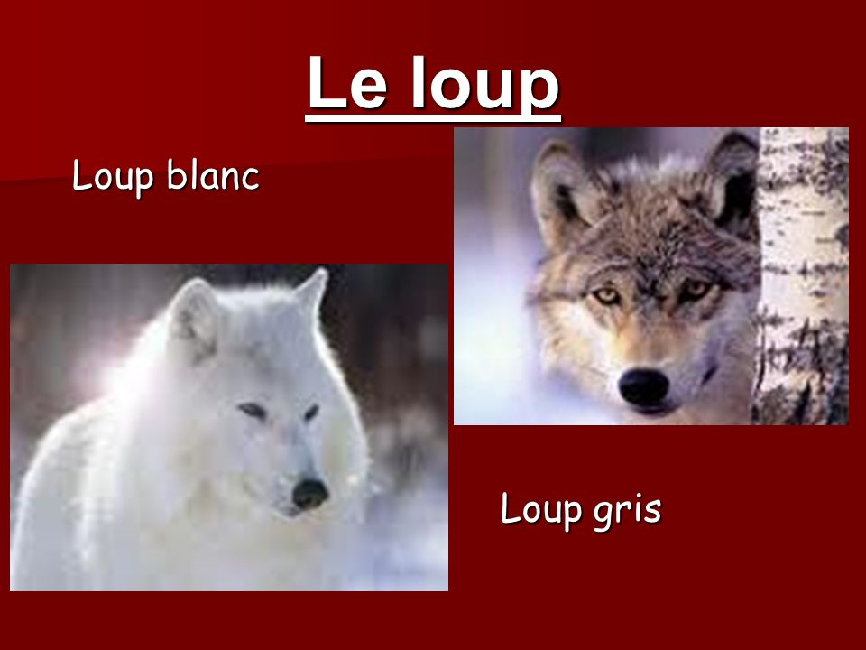 Le loup Loup blanc Loup blanc Loup gris Loup gris