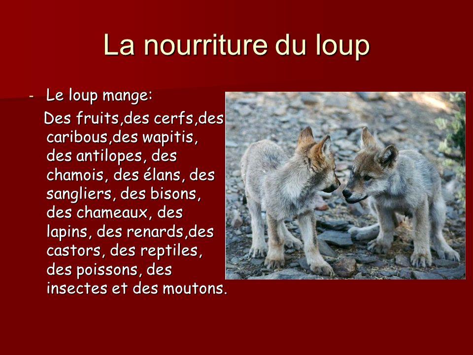 La nourriture du loup - Le loup mange: Des fruits,des cerfs,des caribous,des wapitis, des antilopes, des chamois, des élans, des sangliers, des bisons, des chameaux, des lapins, des renards,des castors, des reptiles, des poissons, des insectes et des moutons.