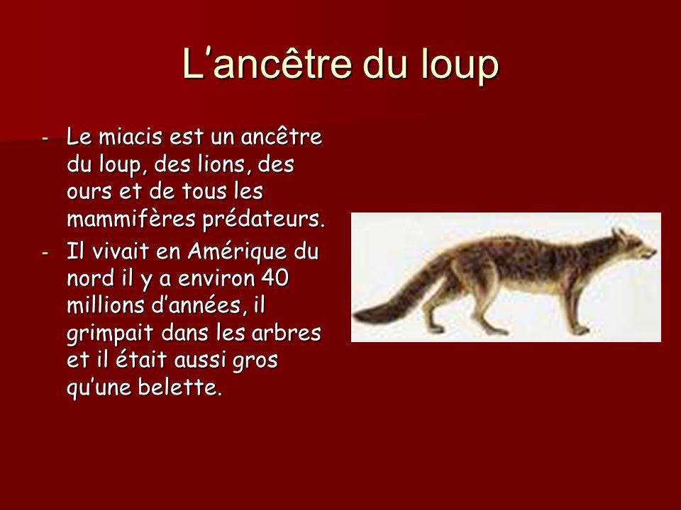 L ancêtre du loup - Le miacis est un ancêtre du loup, des lions, des ours et de tous les mammifères prédateurs.