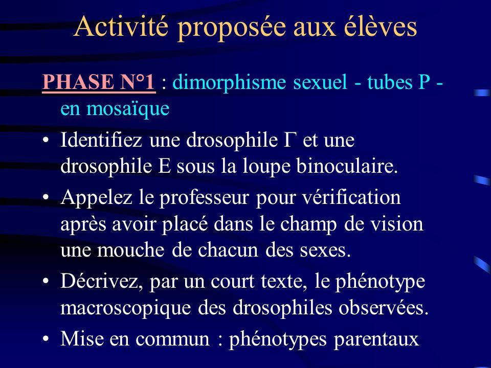 Activité proposée aux élèves PHASE N°1 : dimorphisme sexuel - tubes P - en mosaïque Identifiez une drosophile et une drosophile sous la loupe binocula