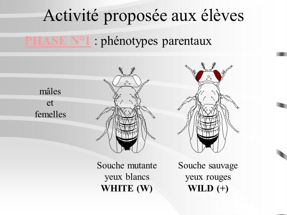Activité proposée aux élèves PHASE N°1 : phénotypes parentaux mâles et femelles Souche mutante yeux blancs WHITE (W) Souche sauvage yeux rouges WILD (