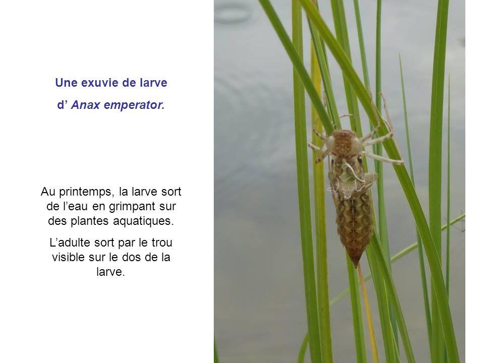 Une exuvie de larve d Anax emperator. Au printemps, la larve sort de leau en grimpant sur des plantes aquatiques. Ladulte sort par le trou visible sur