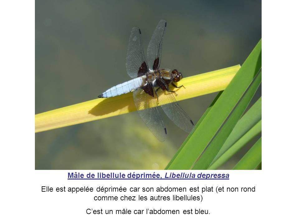Mâle de libellule déprimée, Libellula depressa Elle est appelée déprimée car son abdomen est plat (et non rond comme chez les autres libellules) Cest