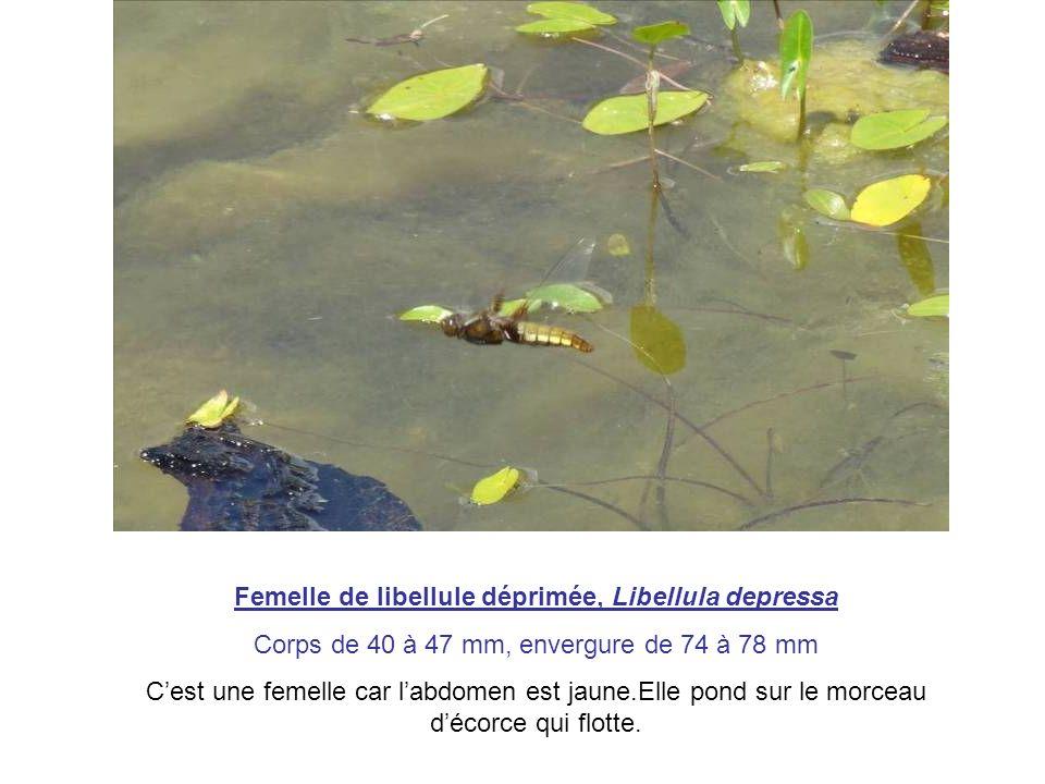 Femelle de libellule déprimée, Libellula depressa Corps de 40 à 47 mm, envergure de 74 à 78 mm Cest une femelle car labdomen est jaune.Elle pond sur l