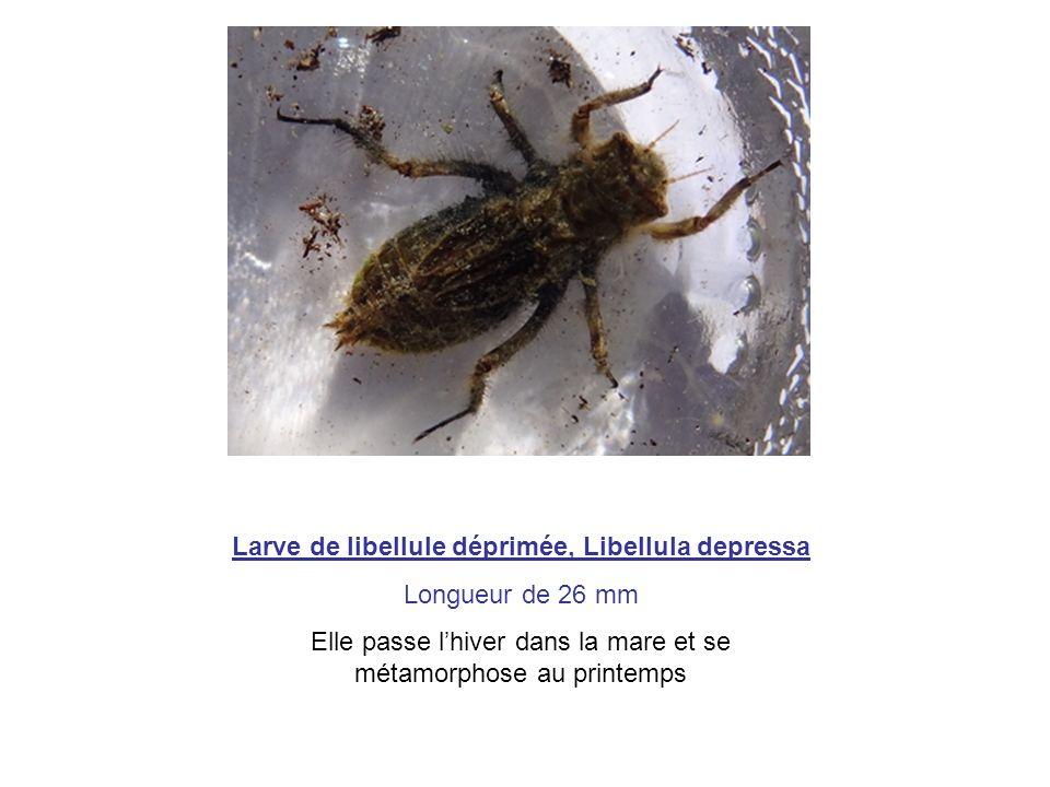 Larve de libellule déprimée, Libellula depressa Longueur de 26 mm Elle passe lhiver dans la mare et se métamorphose au printemps