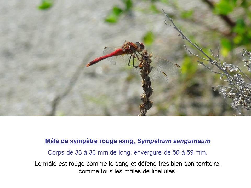 Mâle de sympètre rouge sang, Sympetrum sanguineum Corps de 33 à 36 mm de long, envergure de 50 à 59 mm. Le mâle est rouge comme le sang et défend très
