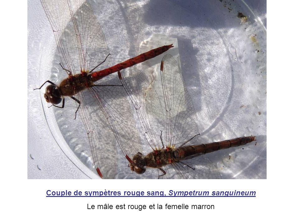 Couple de sympètres rouge sang, Sympetrum sanguineum Le mâle est rouge et la femelle marron